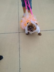 bulldog with tutu